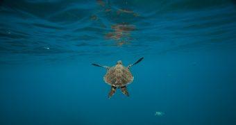 Νεκρή χελώνα καρέτα - καρέτα Χαλκίδα